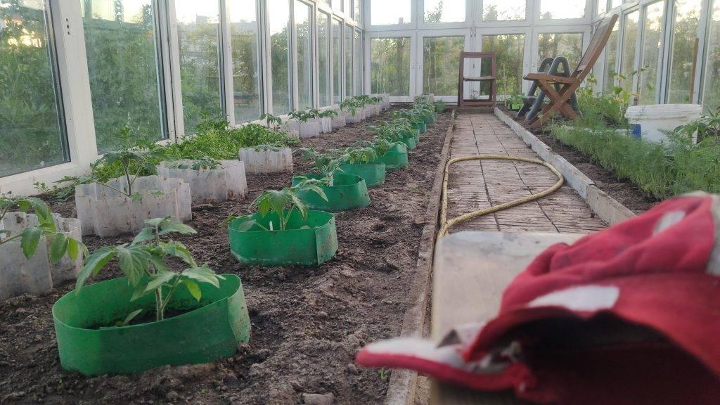 sadzonki pomidory