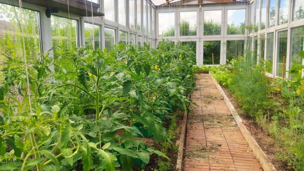 pomidory 2 wzrost